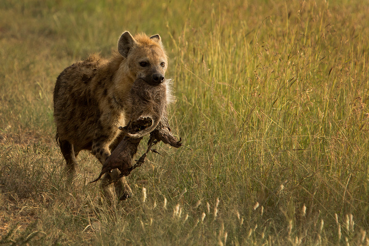 Hyena-carries-meat