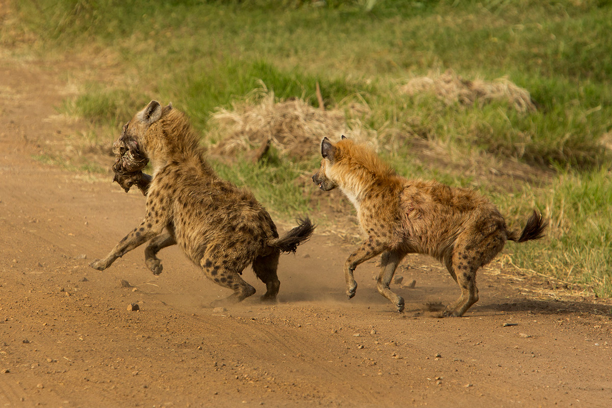 Hyena-fight