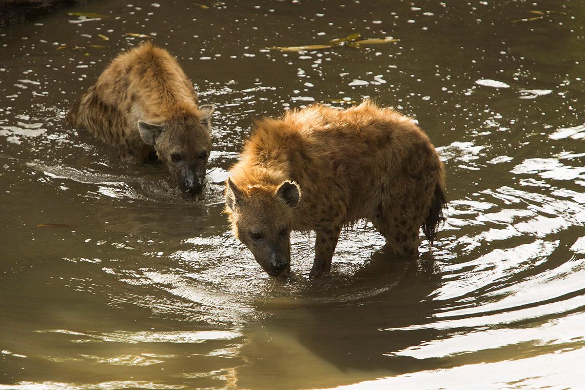 Hyena-in-water