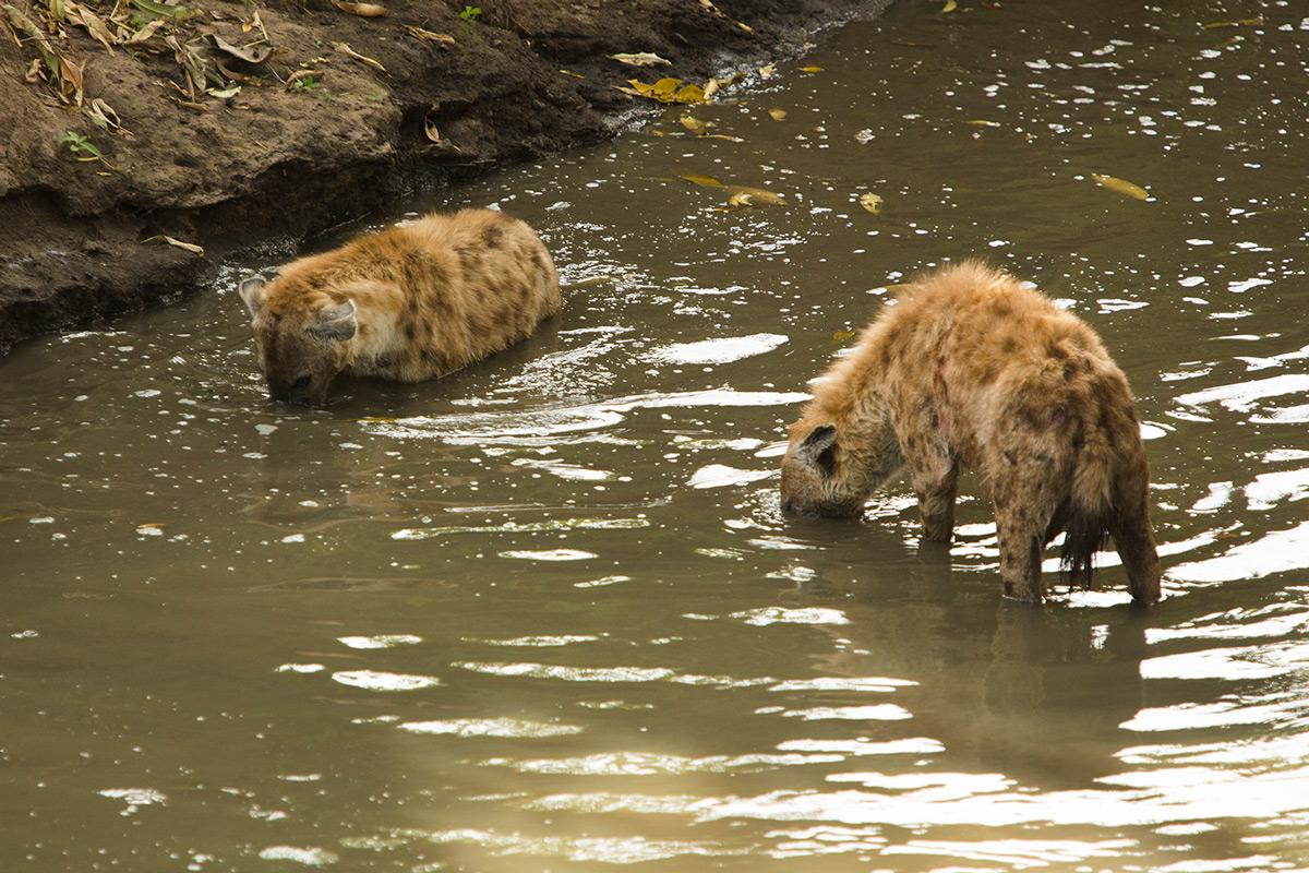 Hyenas-in-water