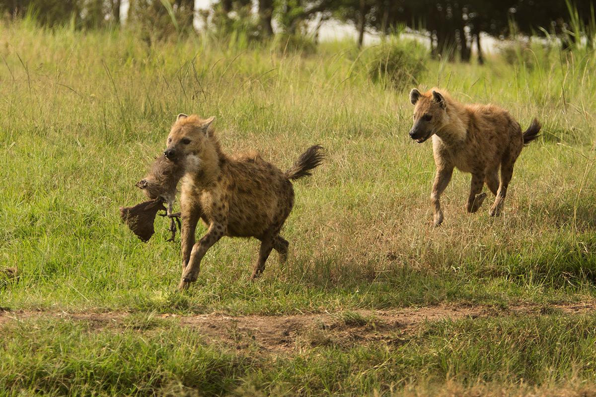 Hyena-meat-chase