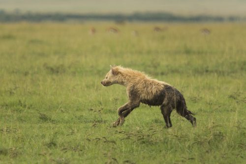 A leucistic hyena seen in the reserve three years ago