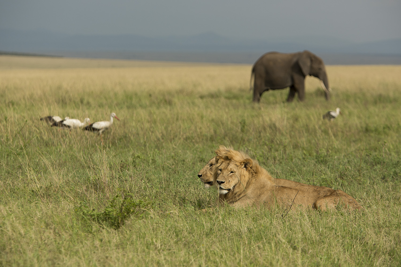Lions, elephants and storks