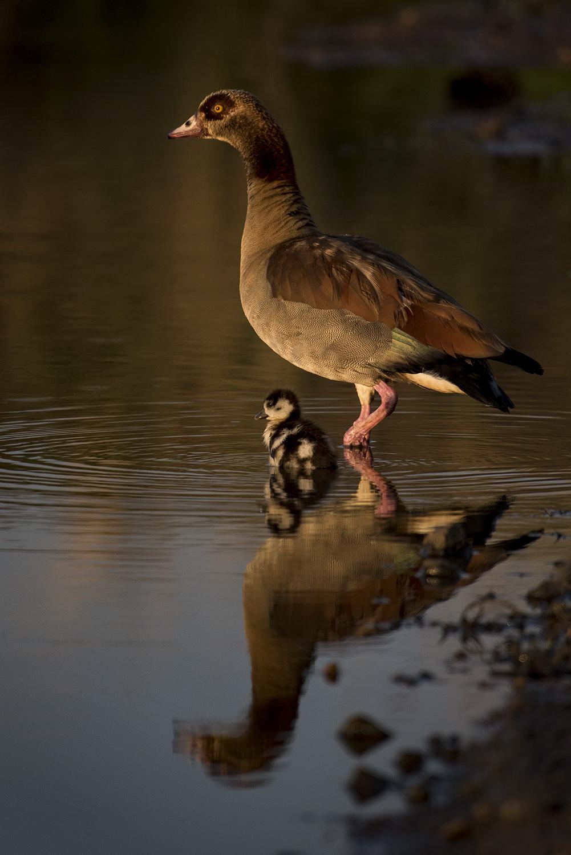 Egyptian Goose upright