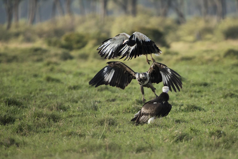 Vulture trio