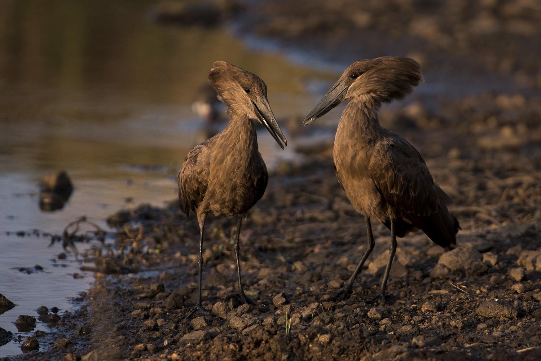 Hammerkop pair