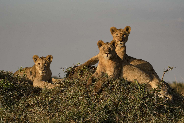 Lions on mound