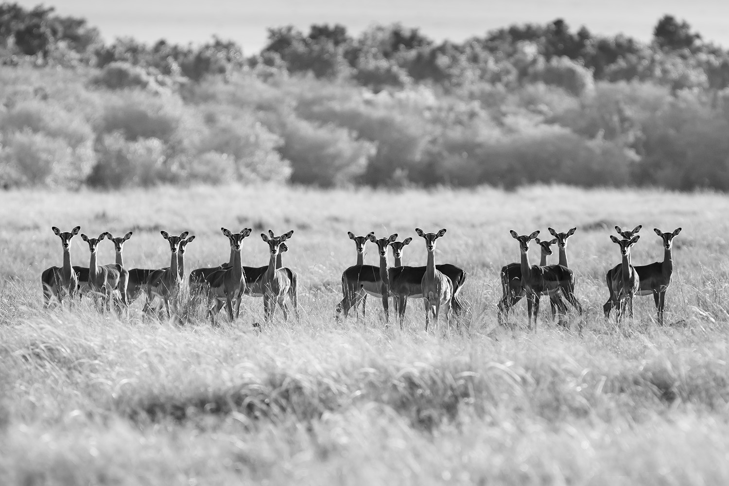 Impala to attention
