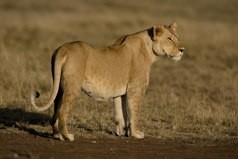 Lioness looks