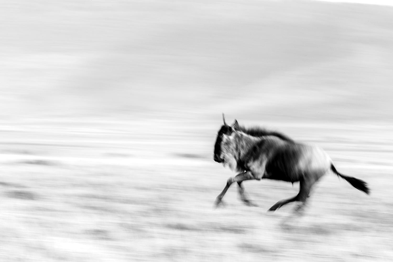 Wildebeest blur bw