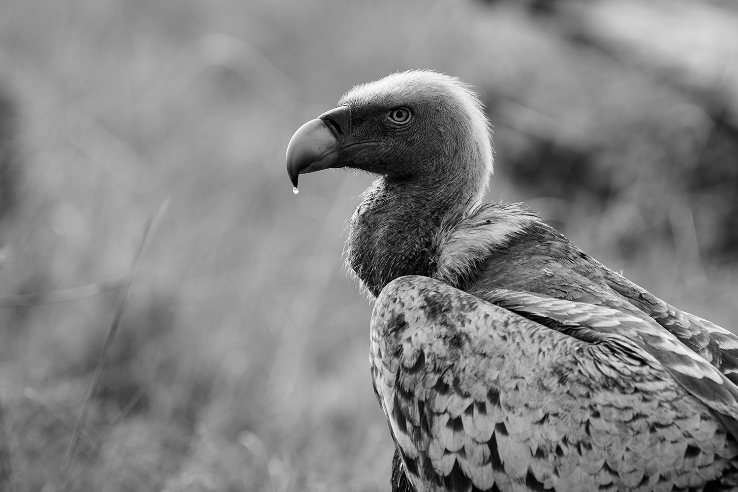 Vulture bw with water