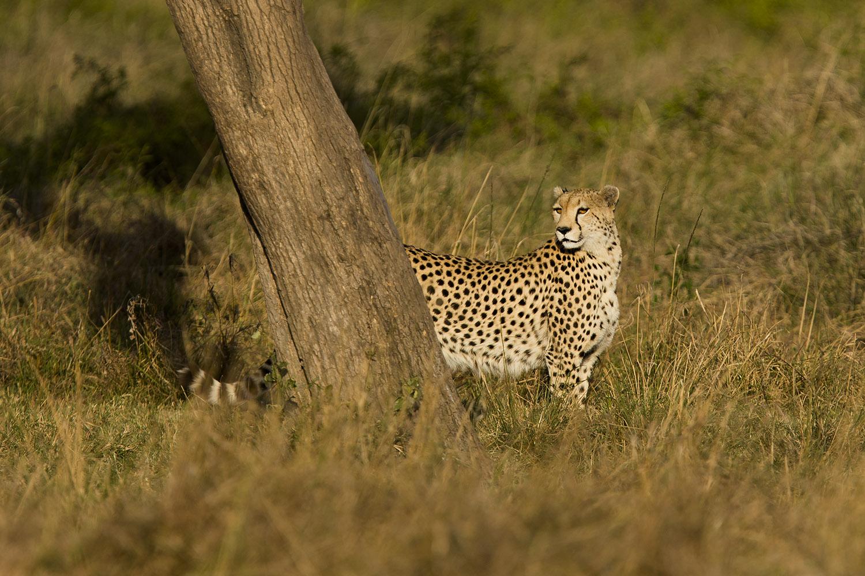Cheetah looks back