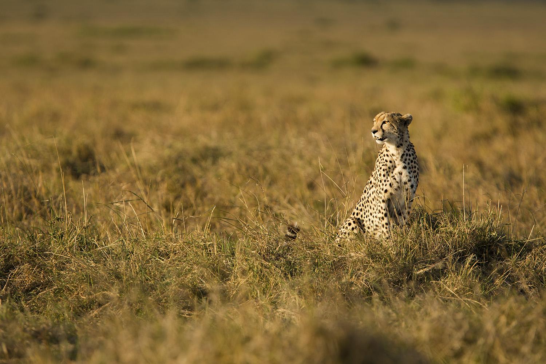 Cheetah looks left