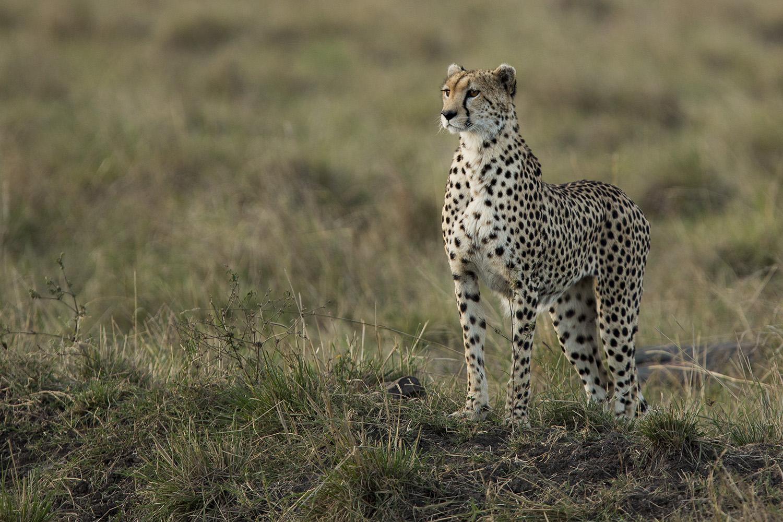 Cheetah poor light