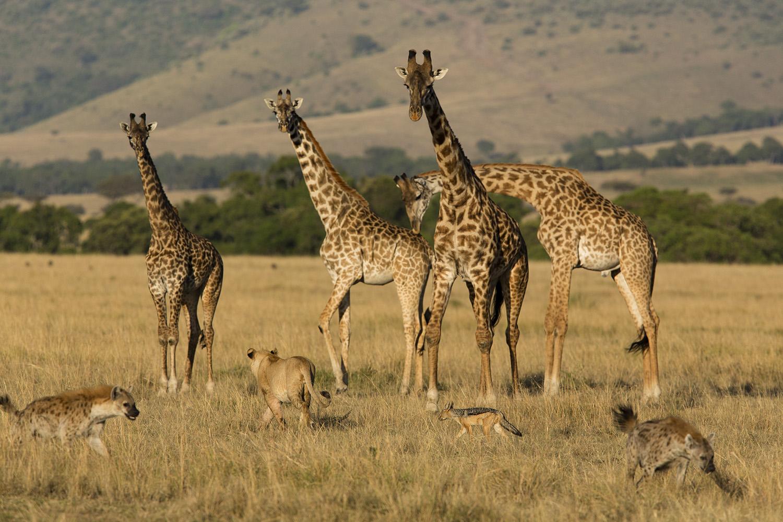 giraffes, lions, hyenas, jackal