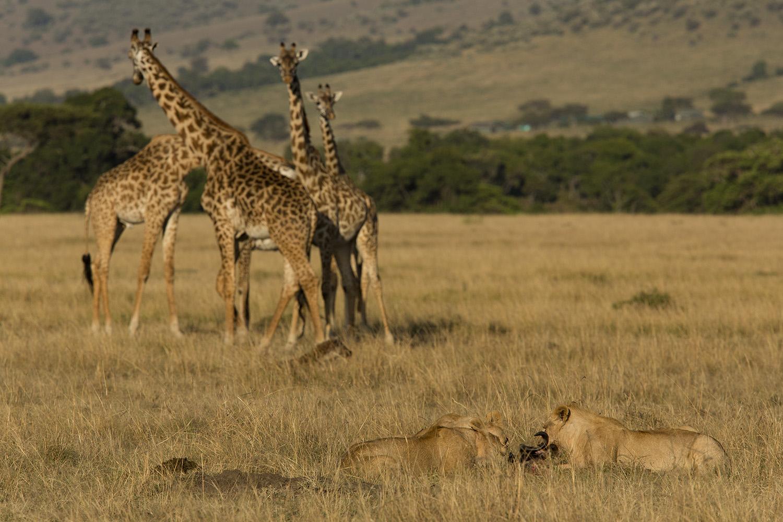 Giraffe and lions