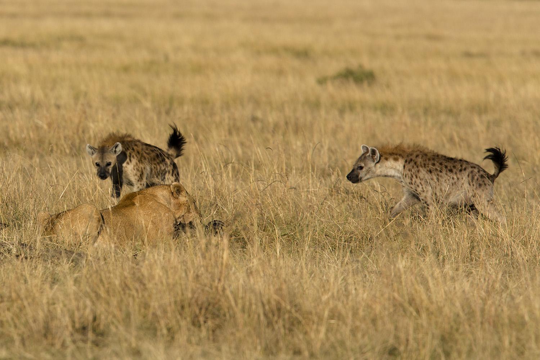 Hyena take lion