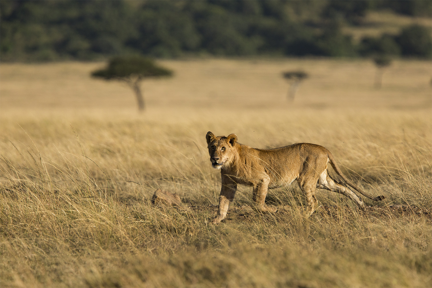 Lion young running
