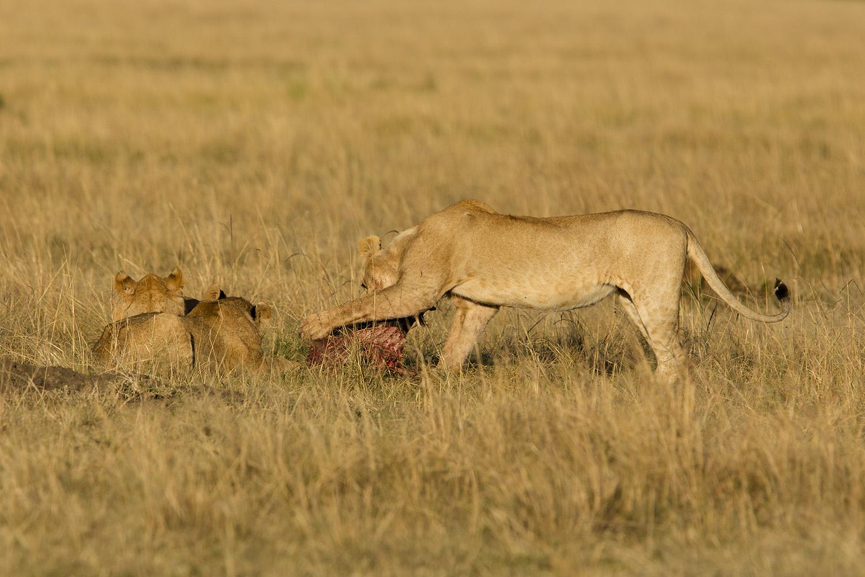 Lions at kill