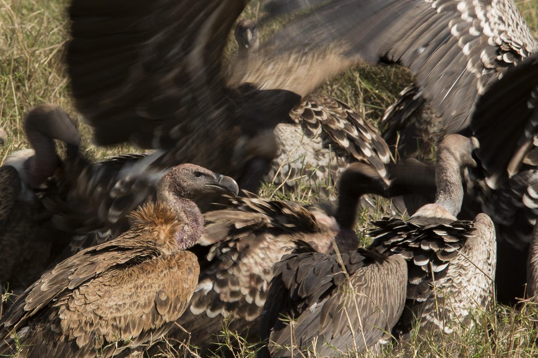 Vulture blur