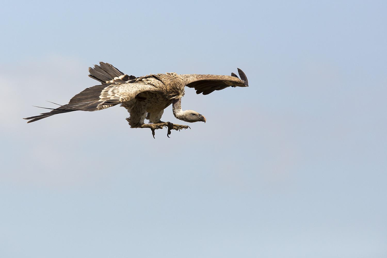 Vulture fast