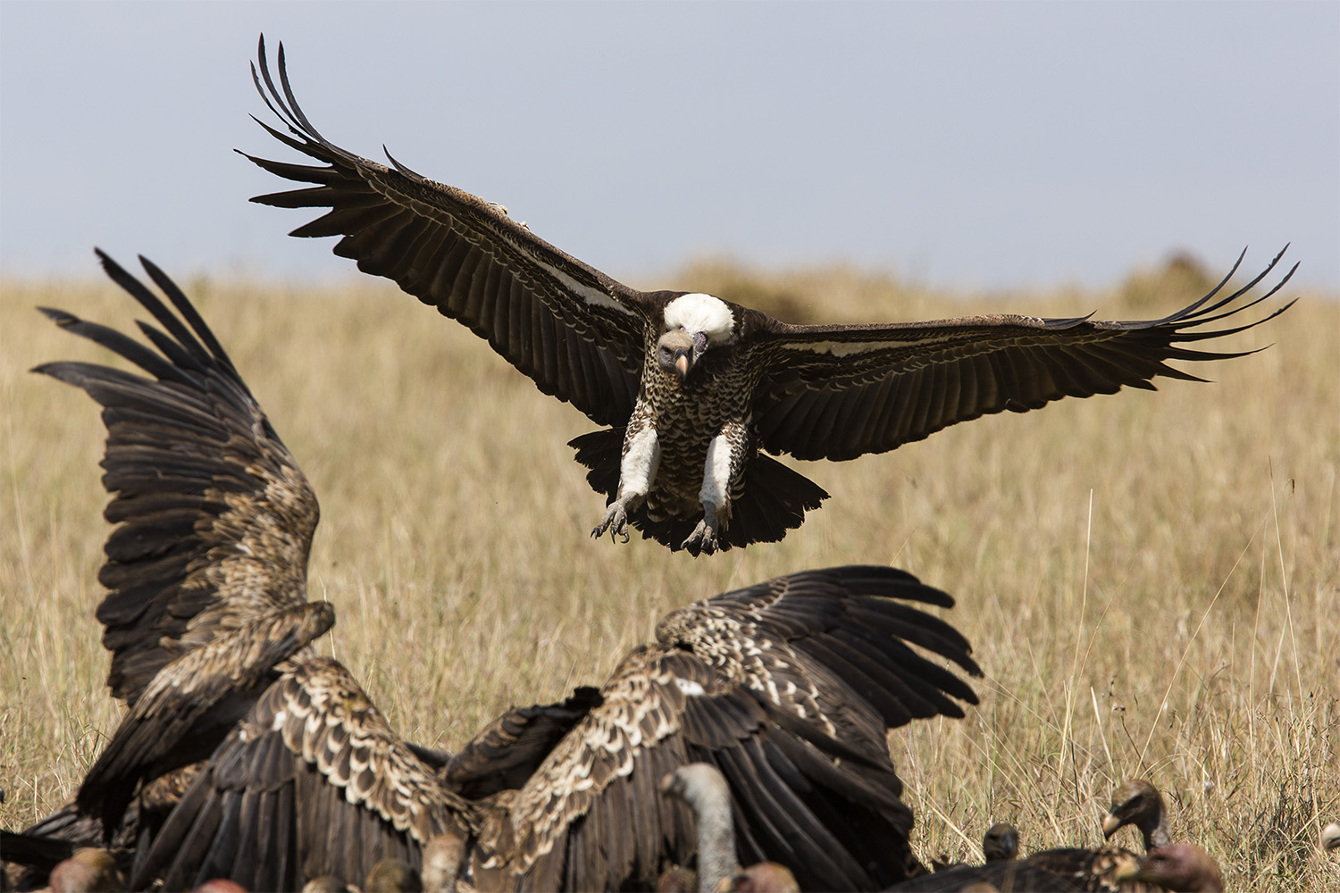 Vultures and wings