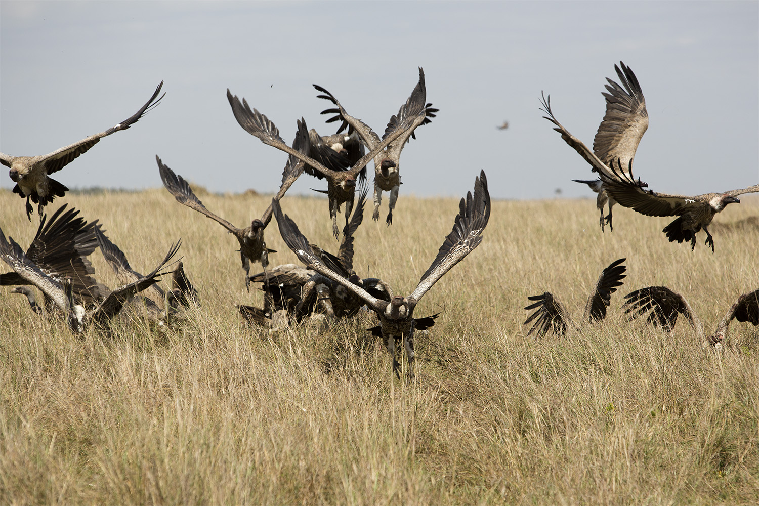 Vultures fly