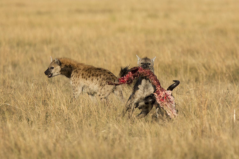 hyena steals