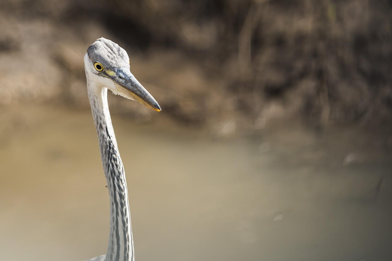 Heron face
