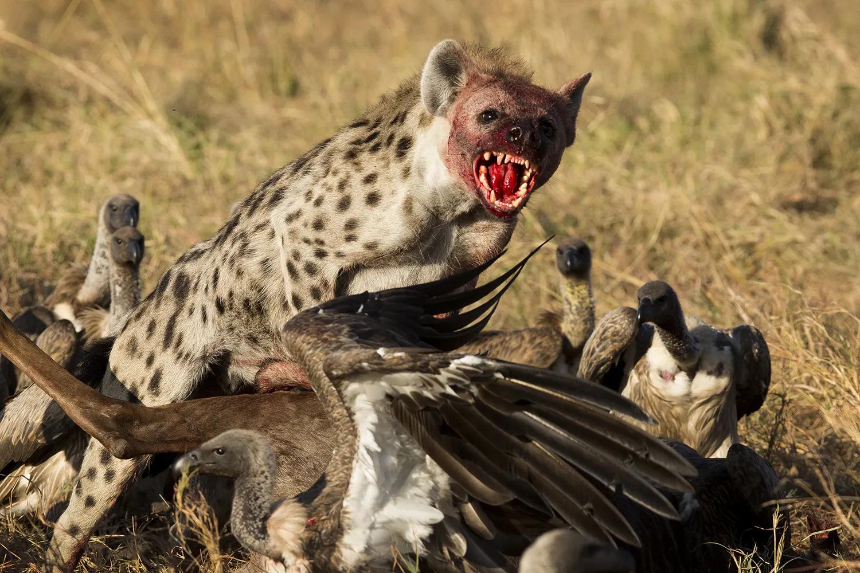 Hyena leap