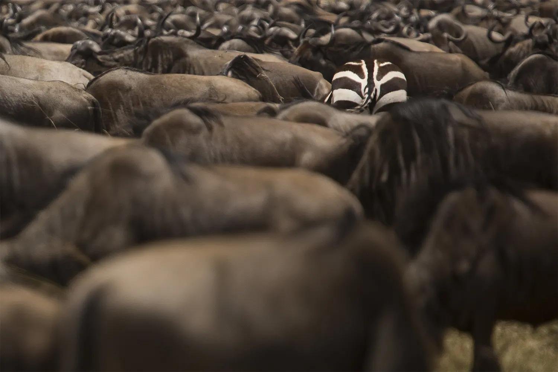 Zebra in wilde herd