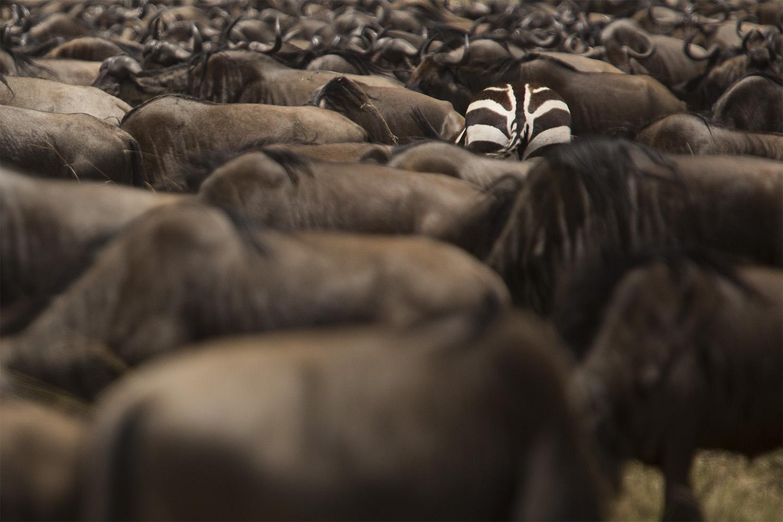 zebra bum and wildebeests