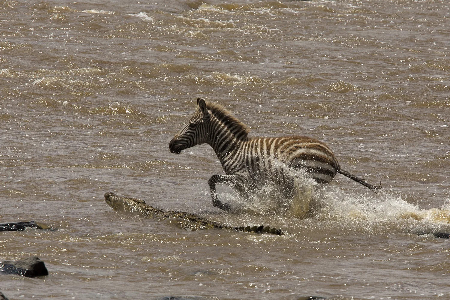 Crocodile and zebra calf