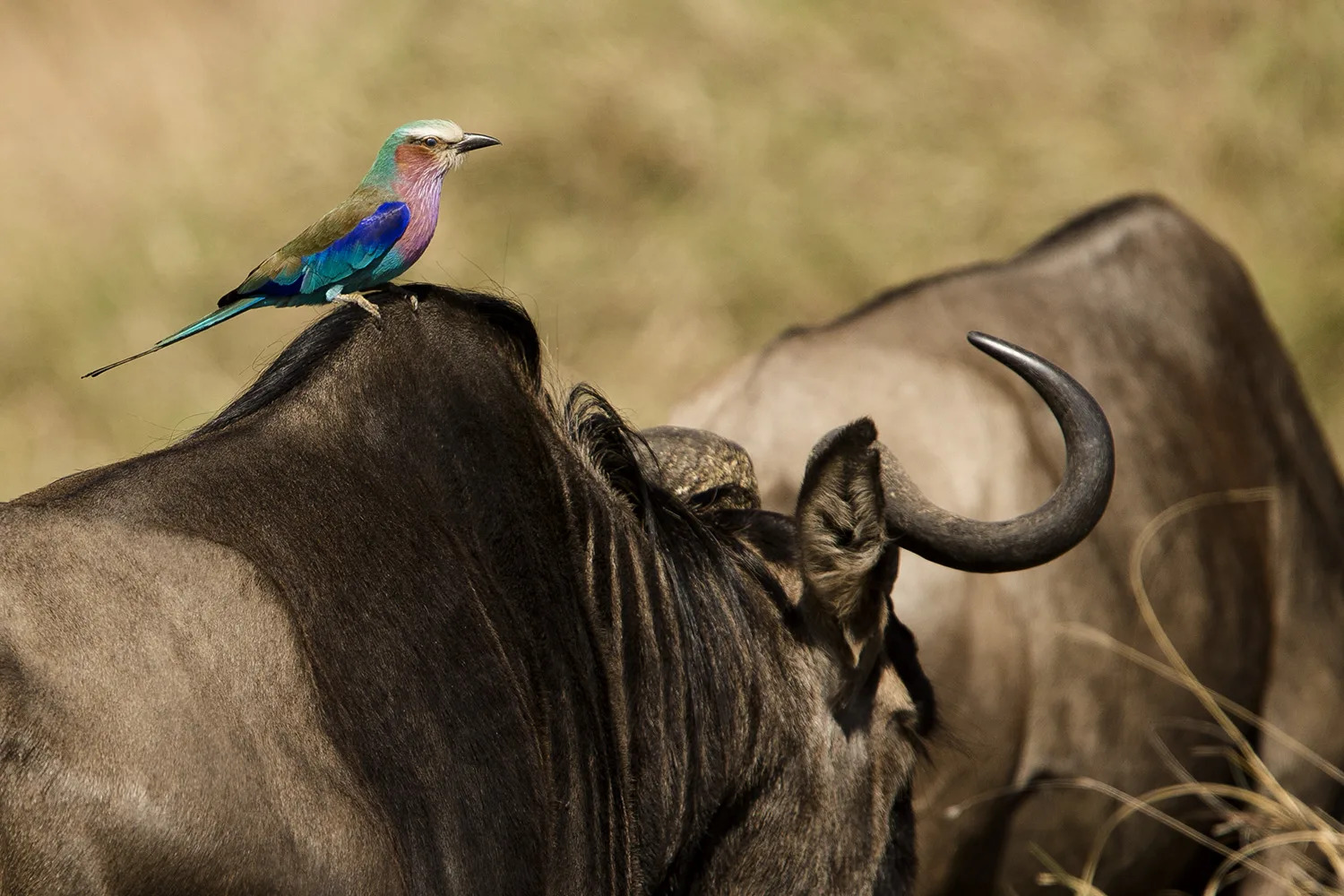 Lilac Breasted Roller and wildebeest