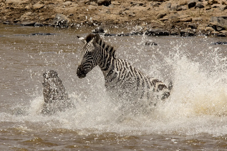 Zebra leap