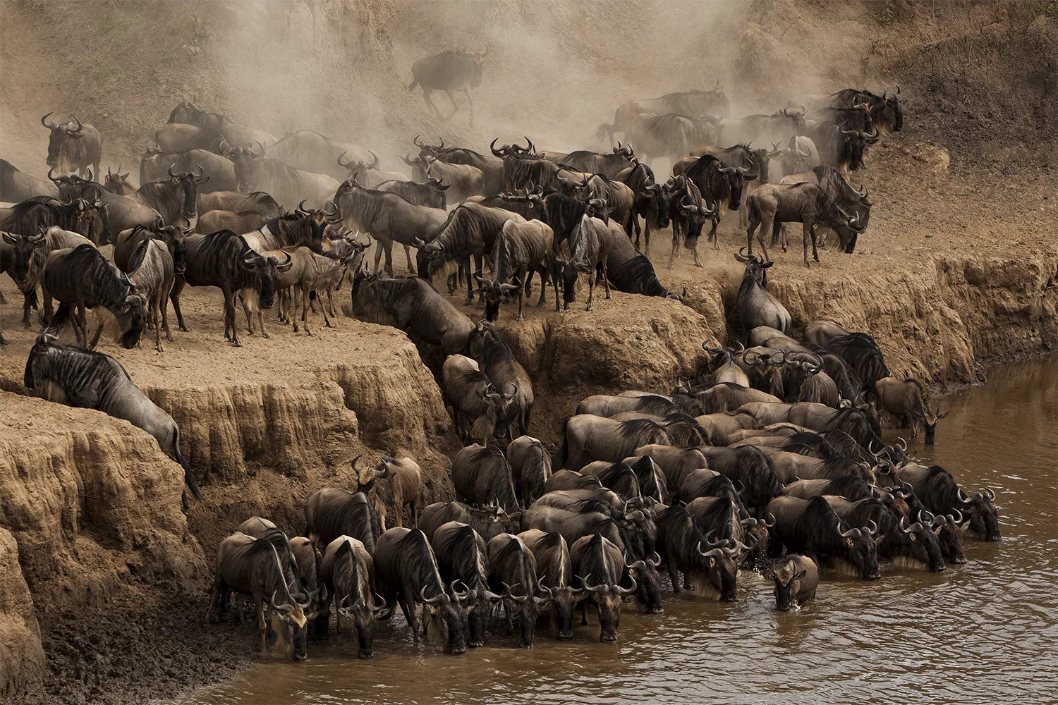 Wildebeest migration drinking and mass