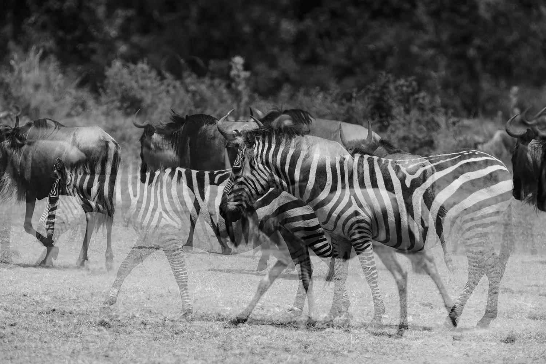Zebra ghost