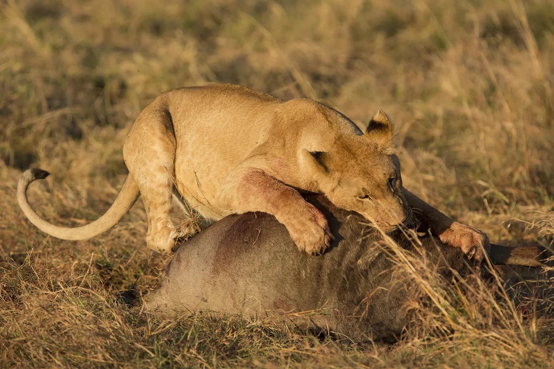 Lion on wildebeest