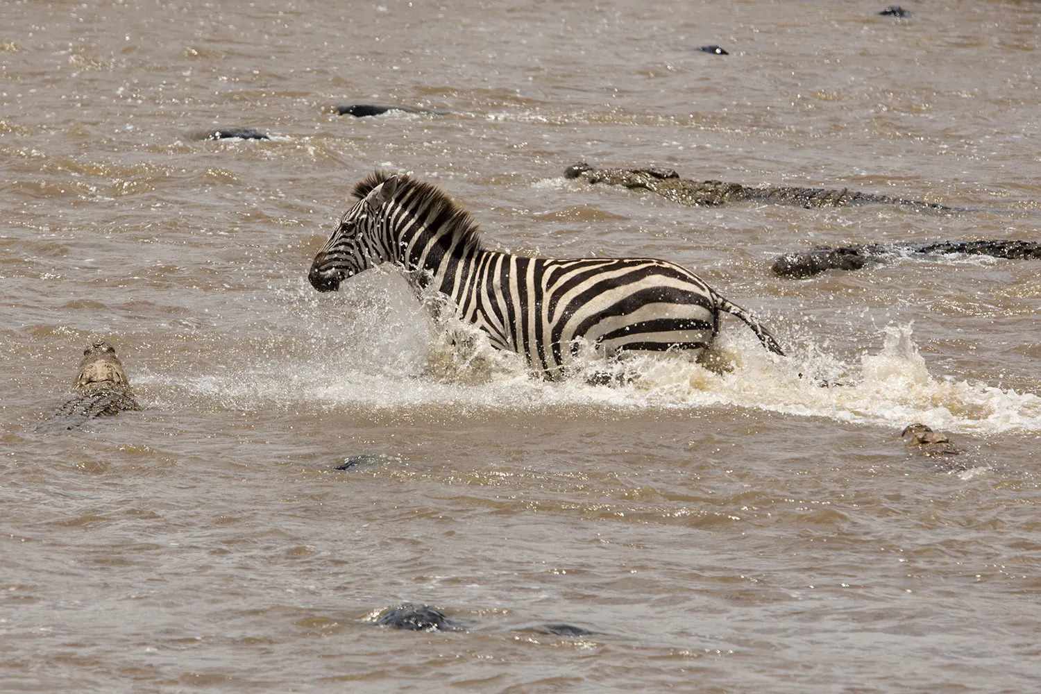 Zebra and crocs surround