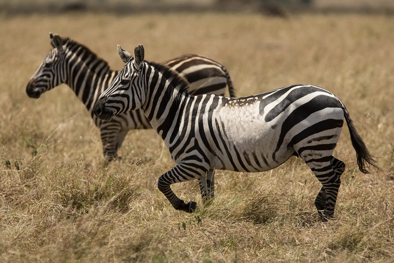 Zebra odd marks