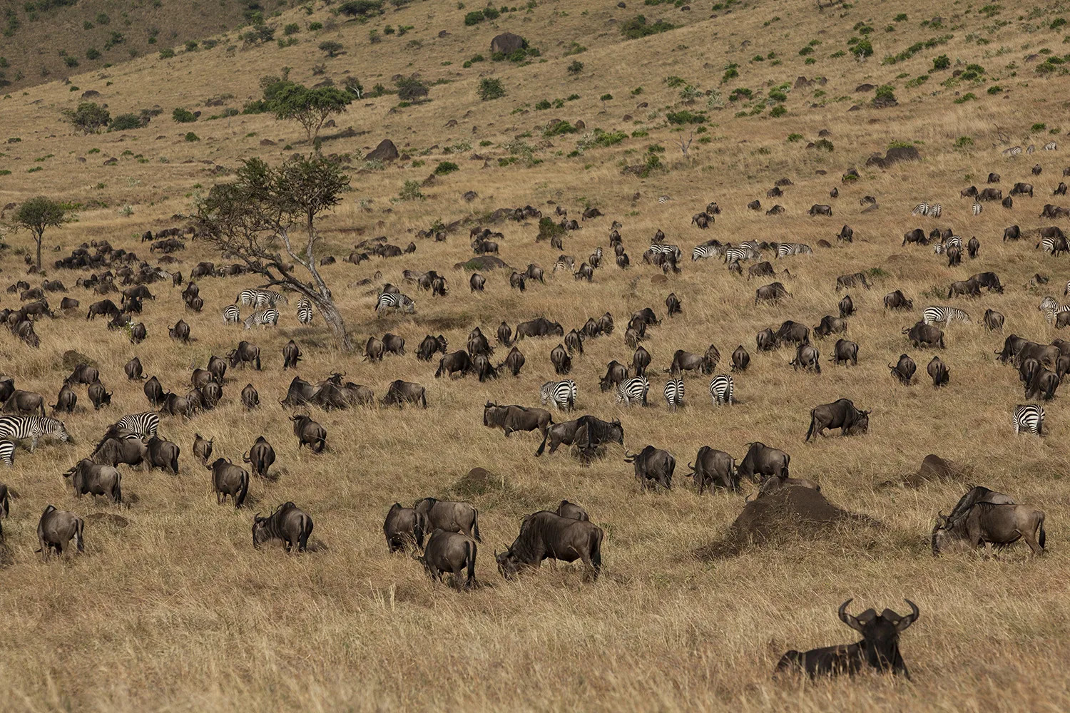 Big herd of wildebeest