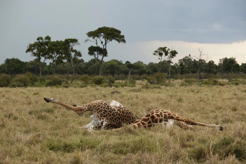 Giraffes corpses
