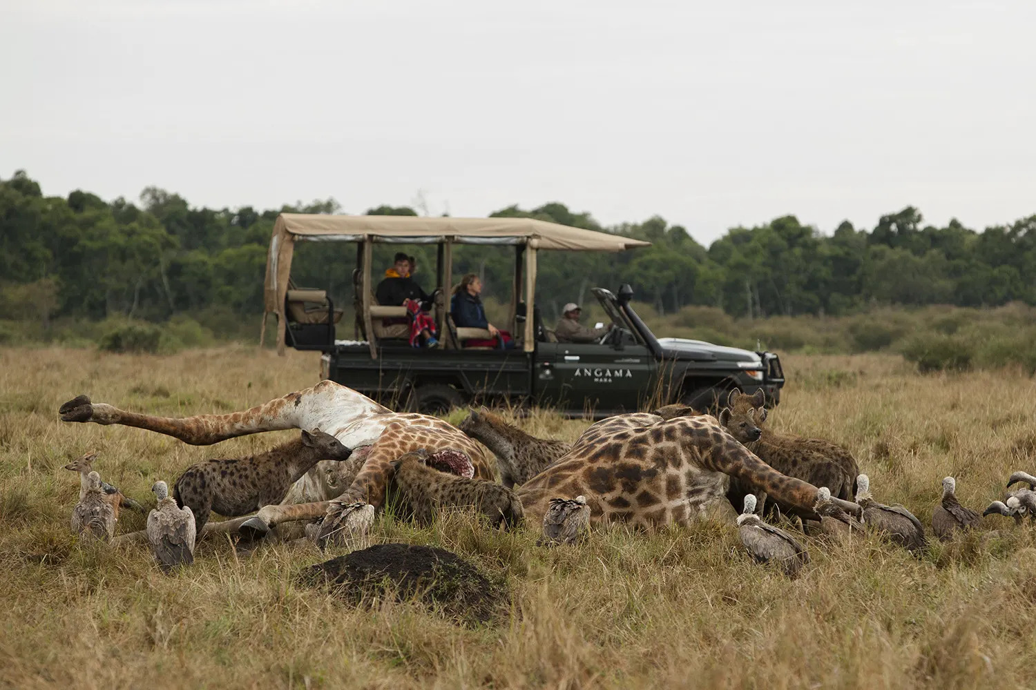 Giraffes corpses and vehicle