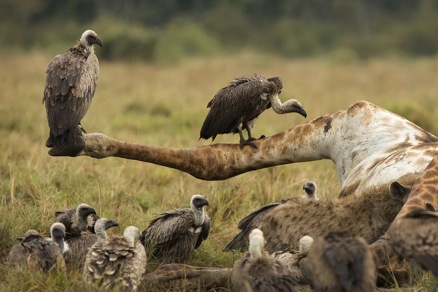 Giraffes with vultures
