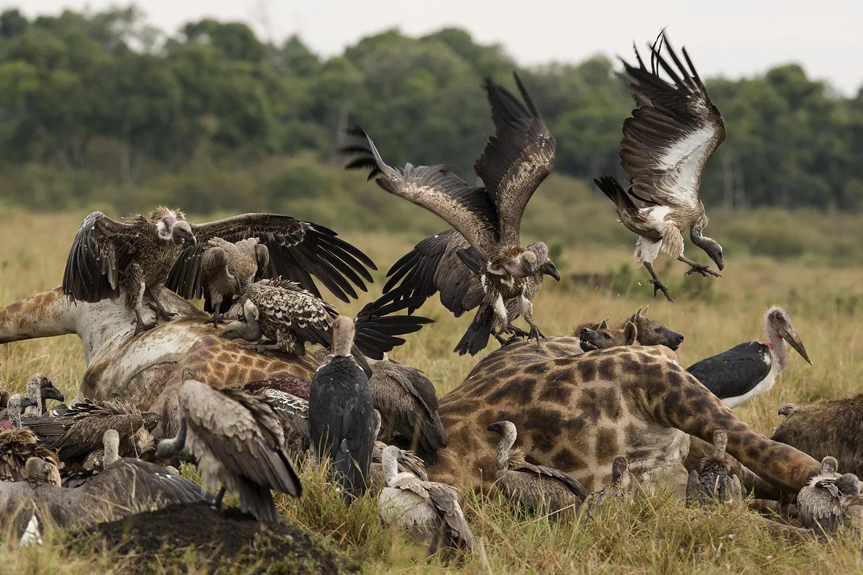 Giraffe corpses being eaten