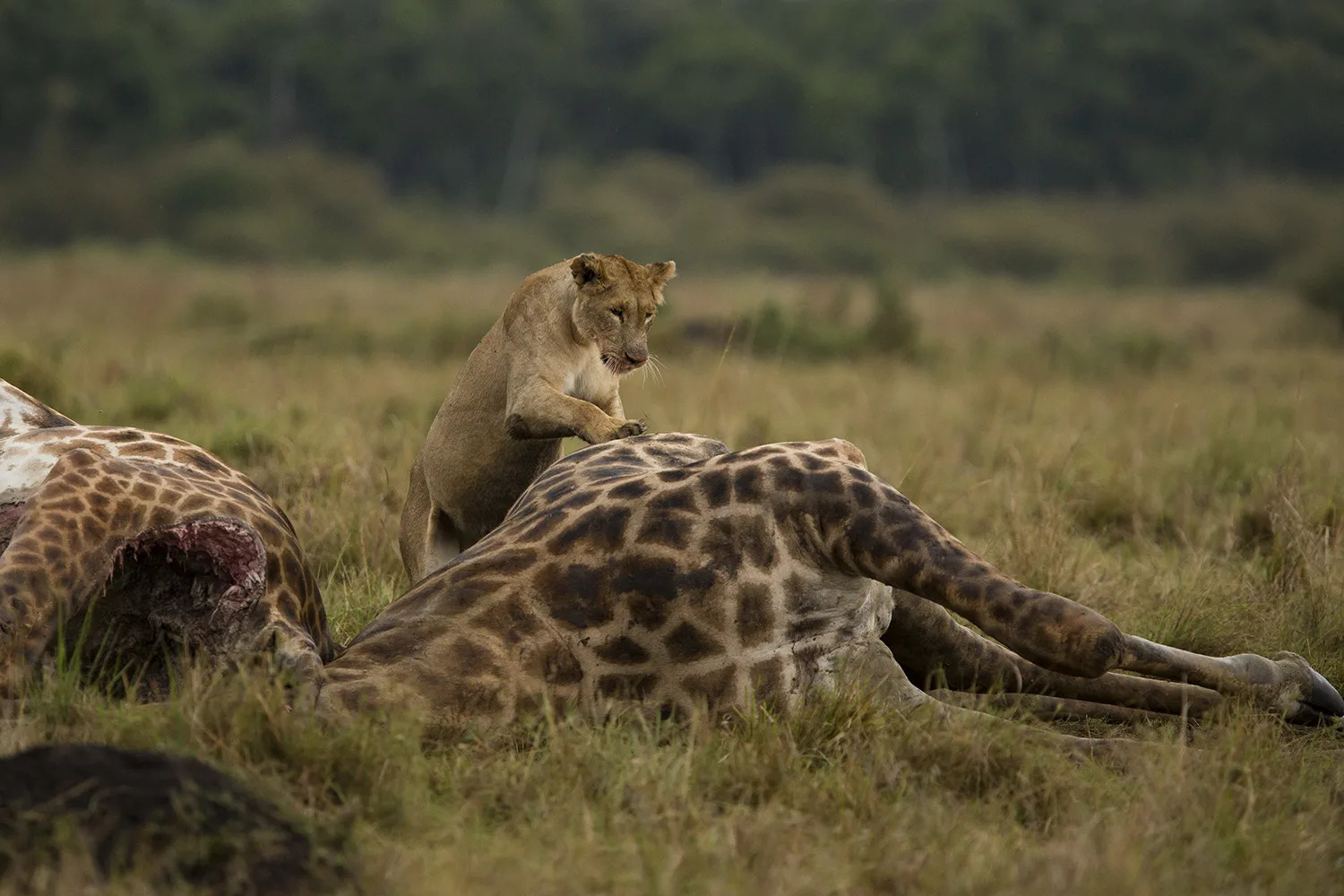 Giraffe corpses and lion