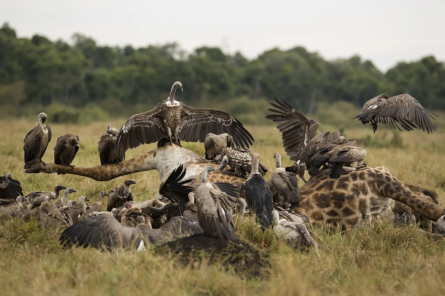Giraffe corpses and vultures