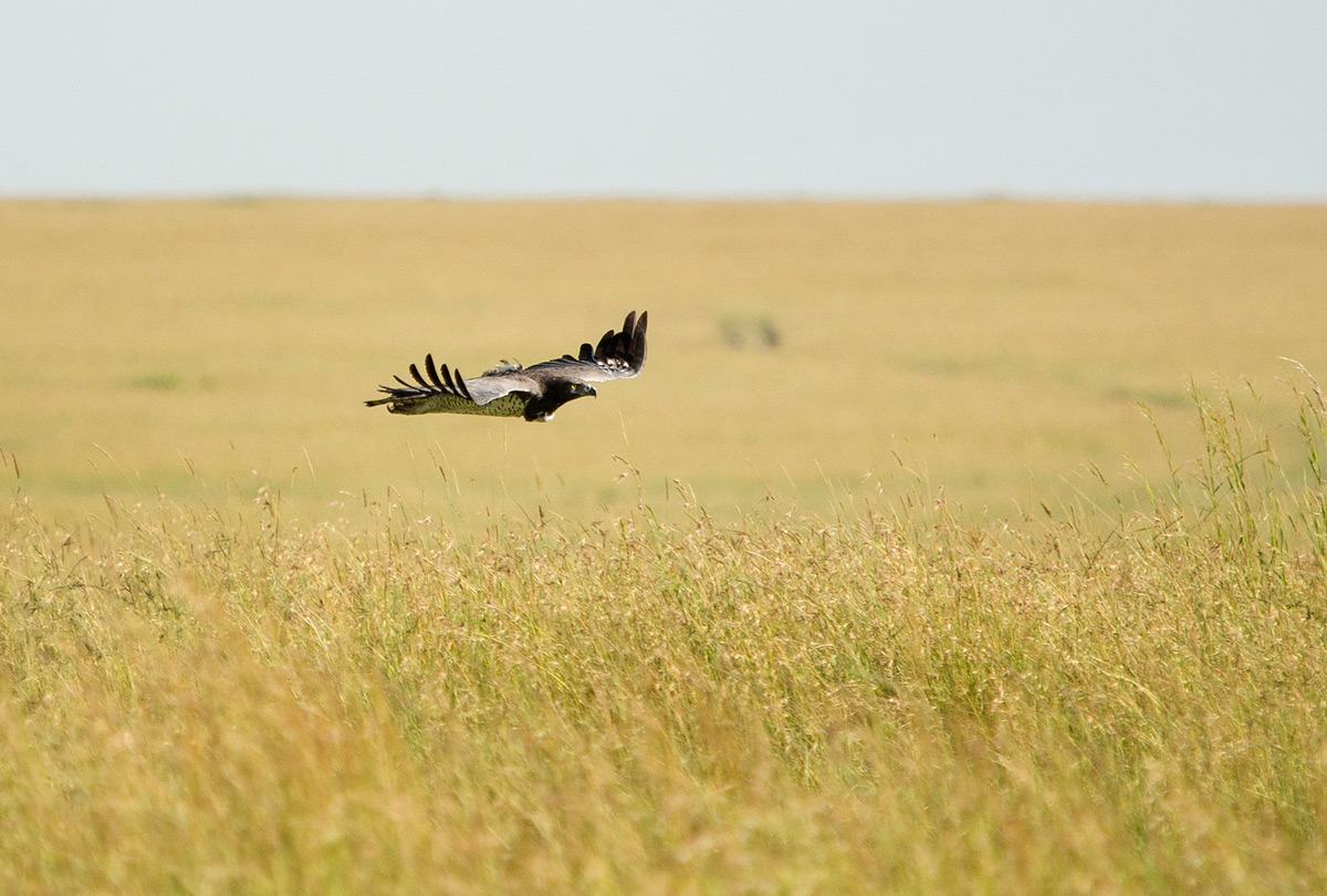 Martial-Eagle-in-flight