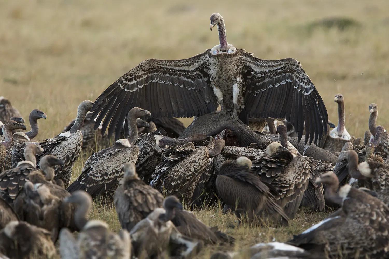 Vulture on elephant
