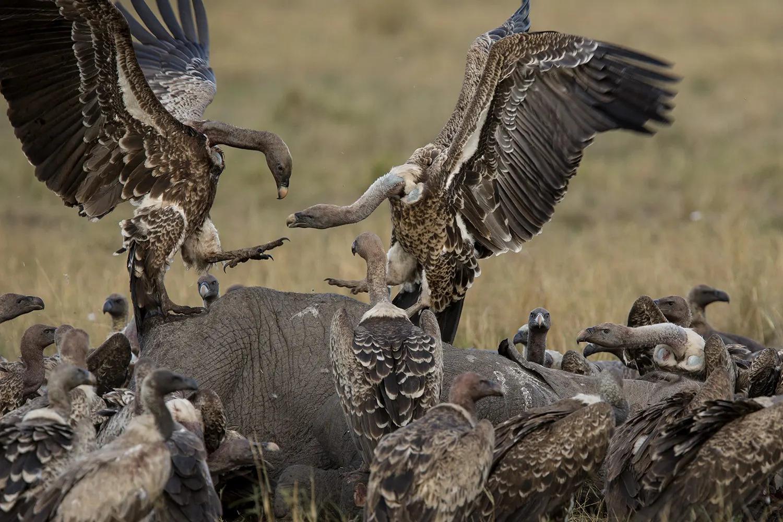 Vultures on elephant 2